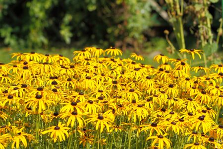 Blooming Yellow Cornflower (Echinacea) in a garden