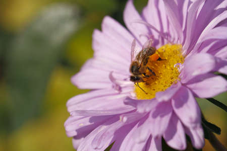 Blooming Asters with bee in a Garden Stock Photo