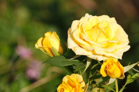 rosa: Blooming roses (Rosa) in a garden
