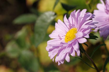 Blooming Asters in a Garden Stock Photo