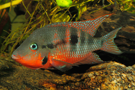 freshwater aquarium plants: Mexican Fire Mouth (Thorichthys meeki) - male