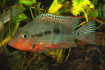 freshwater aquarium plants: Mexican Fire Mouth (Thorichthys meeki) - female