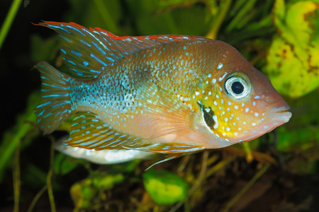 freshwater aquarium plants: Mexican gold cichlid (Thorichthys aureus) - male Stock Photo