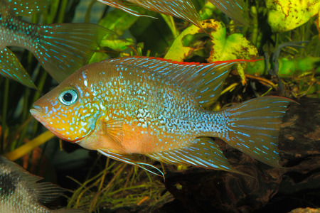 freshwater aquarium plants: Mexican gold cichlid (Thorichthys aureus) -female