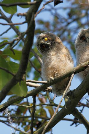 ornitology: Young bird of the Long-eared Owl (Asio otus) sitting in the branches of a walnut tree