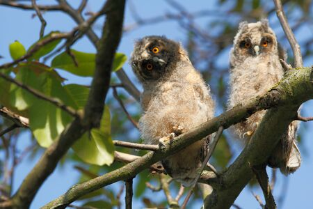 Young birds of the Long-eared Owl (Asio otus) sitting in the branches of a walnut tree Stock Photo