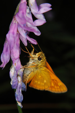 ingestion: Small Skipper (Thymelicus sylvestris) during nectar sucking on a flower - Portrait