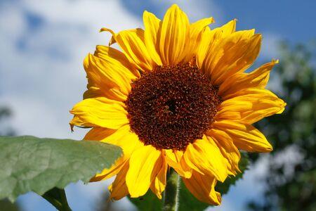 helianthus annuus: Flourishing sunflower (Helianthus annuus) in a garden