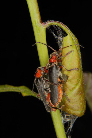 Soldier beetle (Cantharis fusca) mating on a plant stem