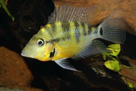 large cichlid: Yellow Fire Mouth (Thorichthys passionis) - Male in a aquarium