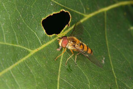 feeler: Hoverfly (Helophilus pendulus) on a leaf