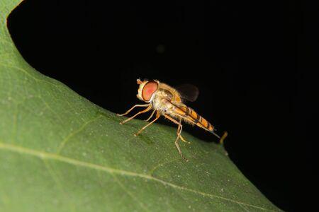 mimicry: Hoverfly (Helophilus pendulus) on a leaf