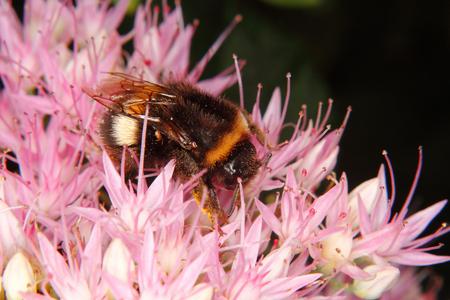bombus: Large earth bumblebee (Bombus terrestris) on a flower Stock Photo