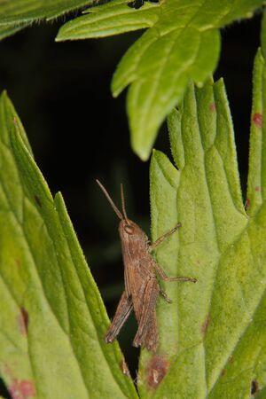 chorthippus: Common field grasshopper (Chorthippus brunneus) Larva on a leaf