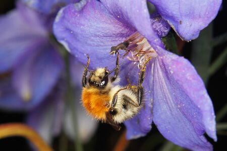 bombus: Common Carder-bee (Bombus pascuorum) on a flower