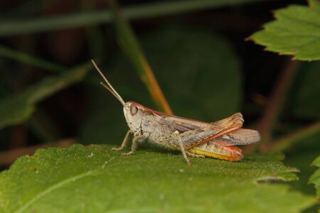 chorthippus: Common field grasshopper (Chorthippus brunneus) on a leaf Stock Photo