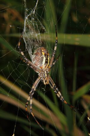bruennichi: Wasp  spider (Argiope bruennichi) in a cobweb Stock Photo