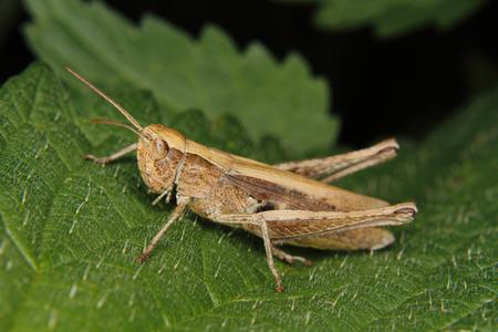 chorthippus: Field grasshopper (Chorthippus albomarginatus) on a leaf Stock Photo