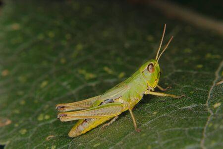 chorthippus: Field grasshopper (Chorthippus apricarius) on a leaf