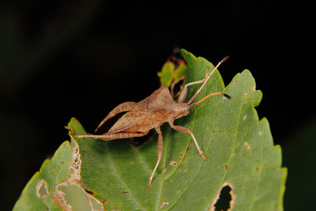 squash bug: Dock bug (Coreus marginatus) on a leaf Stock Photo
