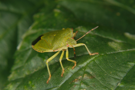 prasina: Green shield bug (Palomena prasina) on a leaf