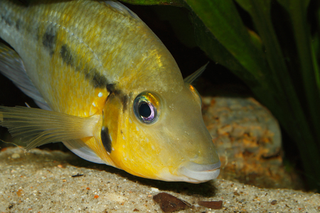 large cichlid: Yellow Fire Mouth (Thorichthys passionis) - Male in a aquarium, Portrait