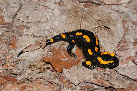 deciduous forest: Fire Salamander (Salamandra salamandra ssp. terrestris ) on forest floor in a deciduous forest in the mountains from Harz, in Saxony-Anhalt  Germany