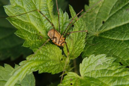 longlegs: Daddy longlegs (Phalangium opilio) on a leaf Stock Photo