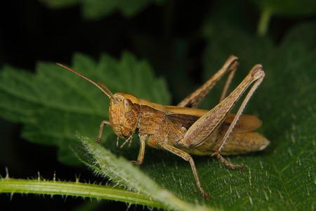 grasshopper: Field grasshopper (Chorthippus albomarginatus) on a leaf Stock Photo