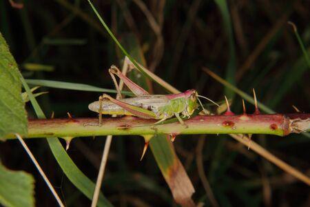 chorthippus: Field grasshopper (Chorthippus parallelus) on a leaf