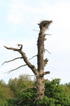 raptor: Death oak with a old raptor horst Stock Photo