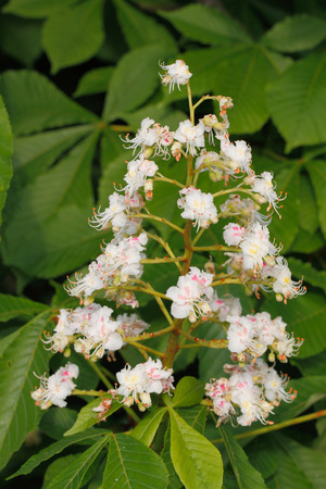 castanea sativa: Chestnut blossoms (Castanea sativa) in spring