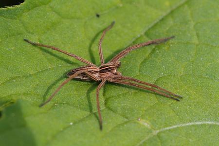 araneae: Nursery web spider (Pisaura mirabilis) on a leaf