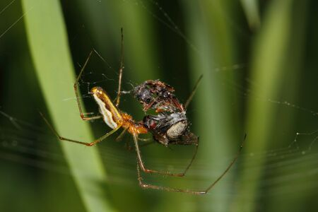 web feed: Orb-weaver spider (Araneidae) -  female while feed captured a fly in its web