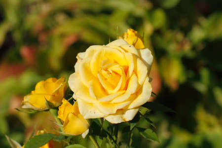 Blooming roses (Rosa) in a garden