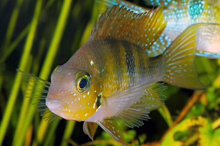 cichlid: Hellers gold cichlid (Thorichthys helleri) - male