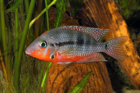 Mexican Fire Mouth (Thorichthys meeki) - female