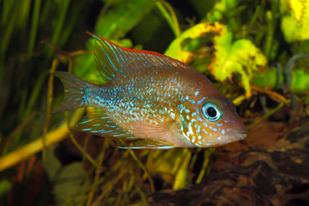 freshwater aquarium plants: Mexican gold cichlid (Thorichthys aureus) - female