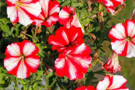 Flowering petunias on a garden in summer Stock Photo
