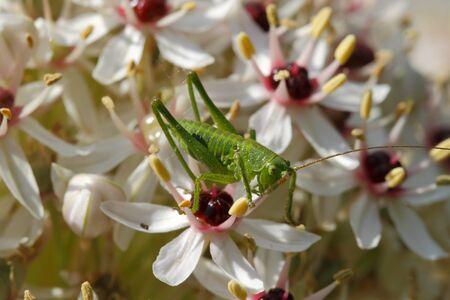 Larva of a Great Green Bush Cricket (Tettigonia viridissima) on a flower Stock Photo