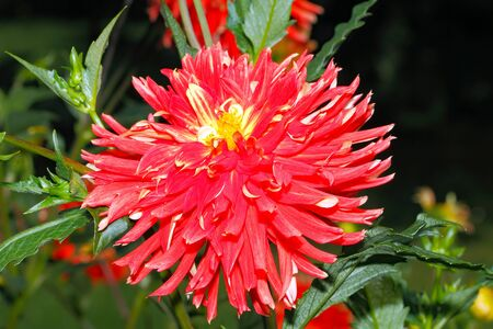 Blooming Dahlia in a garden, in late summer Stock Photo