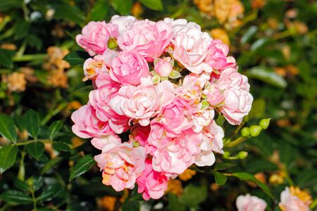 botanics: Blooming roses (Rosa) in a garden