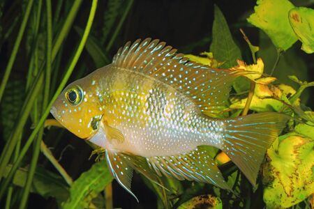 thorichthys: Hellers gold cichlid (Thorichthys helleri) - male