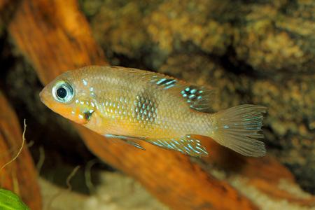 cichlid: Socoloffs gold cichlid (Thorichthys socoloffi) - female Stock Photo