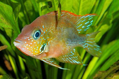 thorichthys: Mexican gold cichlid (Thorichthys aureus) - female
