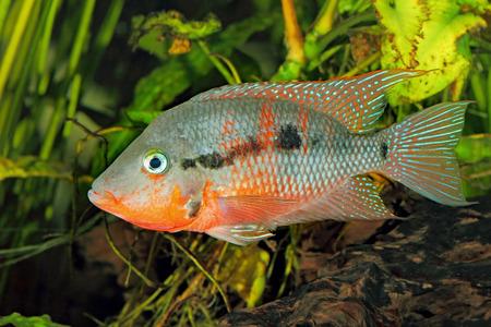 メキシコ火口 (Thorichthys meeki) - 男性
