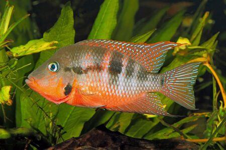 thorichthys: Mexican Fire Mouth (Thorichthys meeki) - male