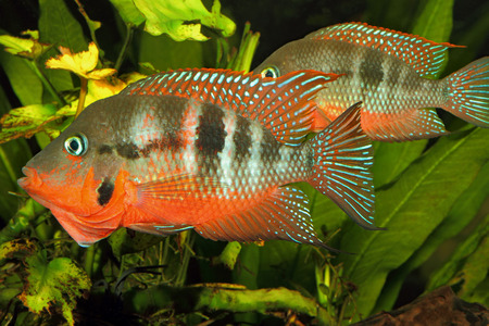 Mexican Fire Mouth (Thorichthys meeki) - male and female at courtship