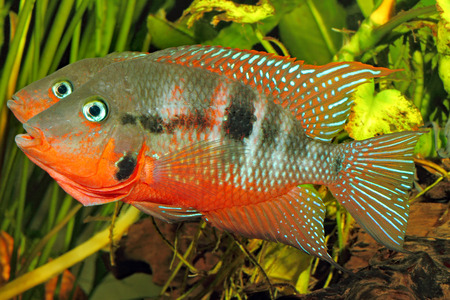 freshwater aquarium plants: Mexican Fire Mouth (Thorichthys meeki) - male and female at courtship