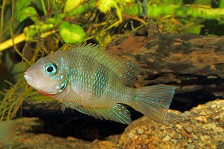 fish tank: Socoloffs gold cichlid (Thorichthys socoloffi) - male